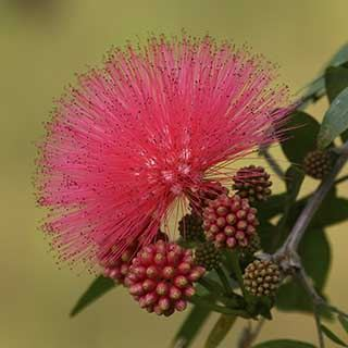 Calliandra surinamensis 'Dixie Pink' - Powder Puff Tree