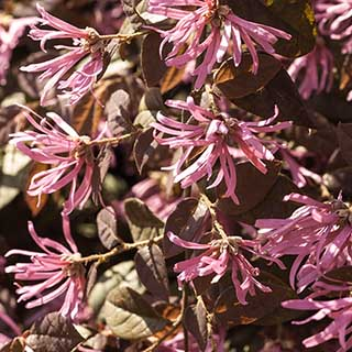 Loropetalum chinense 'Fire Dance' 3L standard