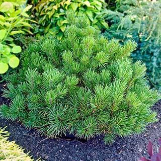 Pinus mugo 'Pumilio' 2L Conifer