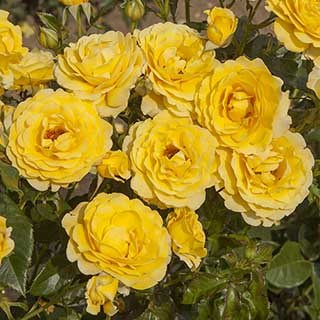 Gift Rose 'Golden Wedding'