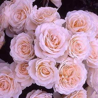 Gift Rose 'Happy Birthday'