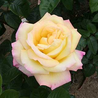 Rose 'Peace'