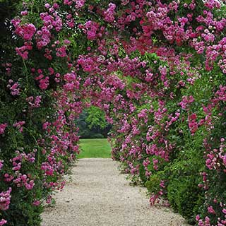 Pair of Climbing Rose Bushes and Rose Arch