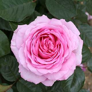 'Love You Mum' Gift Rose Plant in 3L pot