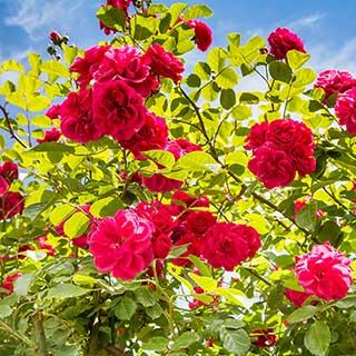 Mini Climbing Rose 'Ruby Rambler' 3L