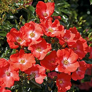 Groundcover Rose 'Flower Carpet Sunset'