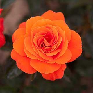 Rose Standard 'Doris Tysterman' potted