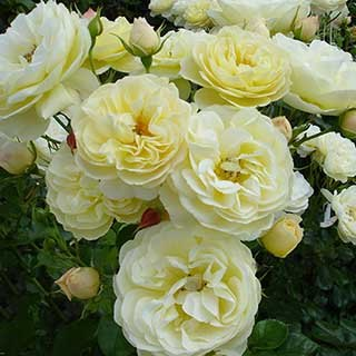 Rose 'Light Fantastic'