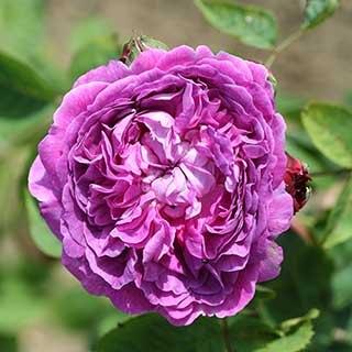 Rose 'Reine des Violettes'