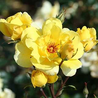 Climbing Rose 'Golden Showers'
