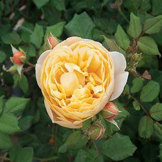 Old English Rose Yellow 3L potted