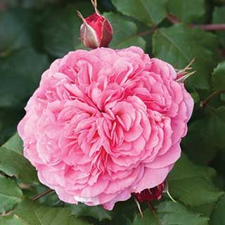 Old English Rose Pink 3L