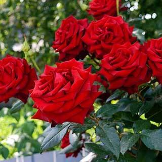 Gift Rose 'Merry Christmas'