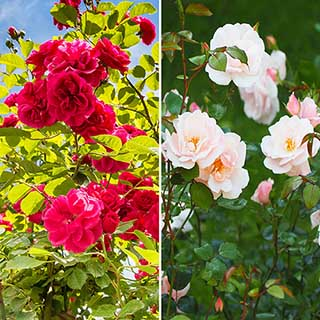 Mini Rambling Rose Collection
