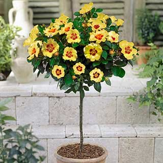 Rose Babylon Eyes Cream 60cm stem potted 4L