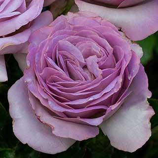 Climbing Rose 'Indigoletta'