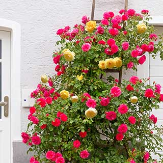 Duo Climbing Rose 'Spanish Flag'