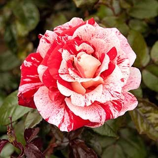 Rose 'Raspberry Ripple' (Papageno)
