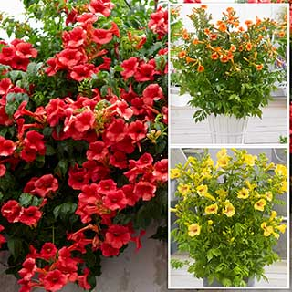 Campsis Trumpet Vine collection - 3 plants