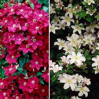 Pair of Patio Clematis Red and White, Acropolis(TM) Boulevard(R) Evipo078(N) Series in 3L Pots