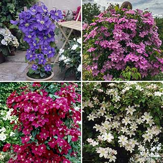 Complete Boulevard Clematis collection - 4 x 2L