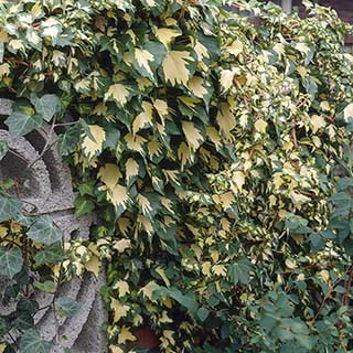 Hedera 'Goldheart' 2L pot 1M tall