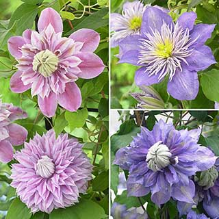 Raymond Evison Premium Double Clematis Collection