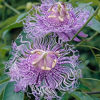 Passion Flower Incarnata 'Fata Confetta'