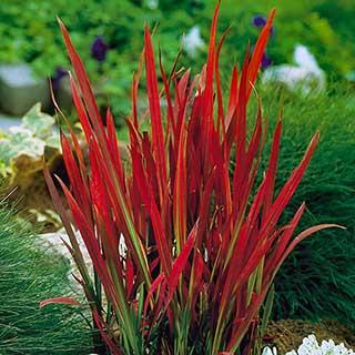 Imperata 'Red Baron' - Blood Grass