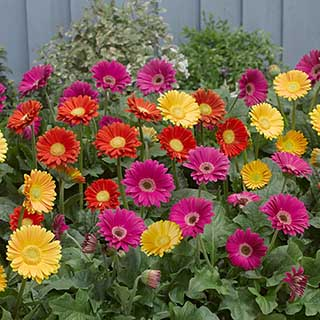 Hardy Gerbera 'Garvinea' Sweet collection