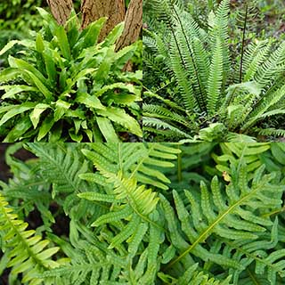 Evergreen Hardy Fern Collection - 3 varieties