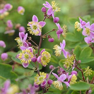 Thalictrum rochebraunianum 3 x 9cm