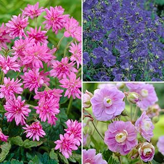 Hardy Double Flowered Geranium Collection