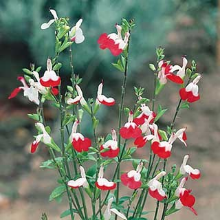 Hardy Salvia 'Hot Lips' Pack of 3 Potted Plant in 9cm Pots