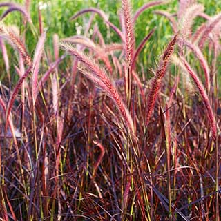Purple Fountain Grass Pennisetum 'Fireworks'