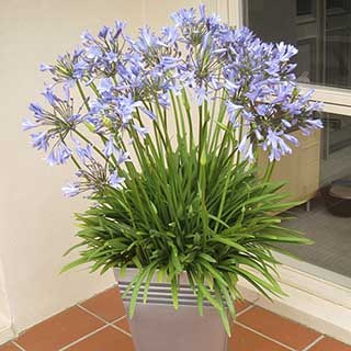 Agapanthus Blue Prince 3L