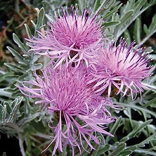 Centaurea Silver Feather 3L