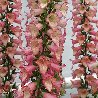 Digitalis Illumination Pink 3L
