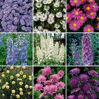 Cottage Garden Collection - Delphinium, Aster & Scabious