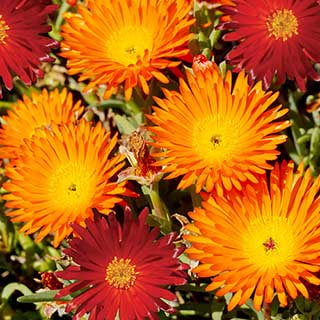 Lampranthus aureus, 'Red' and 'Orange'