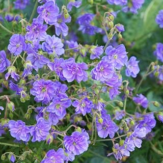 Geranium himalayense 'Plenum' ('Birch Double')