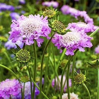 Hardy Scabious 'Pink Mist'