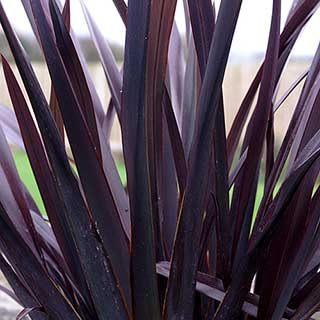 Phormium 'Black Adder'
