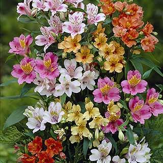 Hardy Alstroemeria Ligtu Hybrids