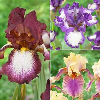 Hardy Bearded Iris Collection