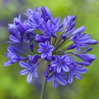 Agapanthus africanus 'Blue African Lily'