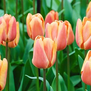 Tulip 'Apricot Fox'