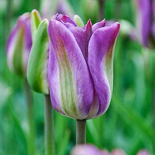 Tulip viridiflora 'Nightrider'