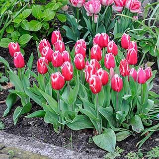Tulip 'Canasta'