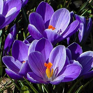 Large-Flowered Crocus 'Blue'
